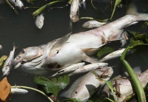 Horror! Elviselhetetlen szag, több ezer döglött hal a Sajón