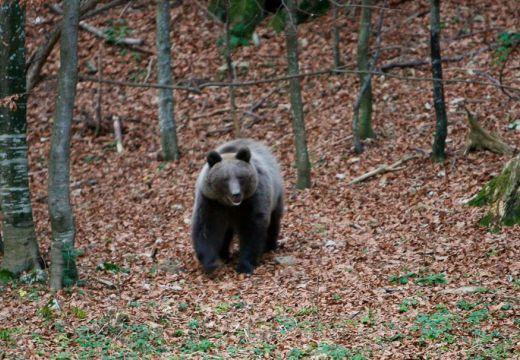 Túrázók, futók, vigyázat! Medve a somostetői erdőben!