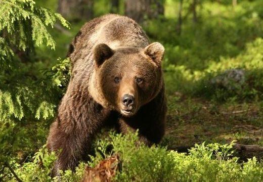 Figyelmeztetés! Medvék a Marosvásárhely környéki erdőkben