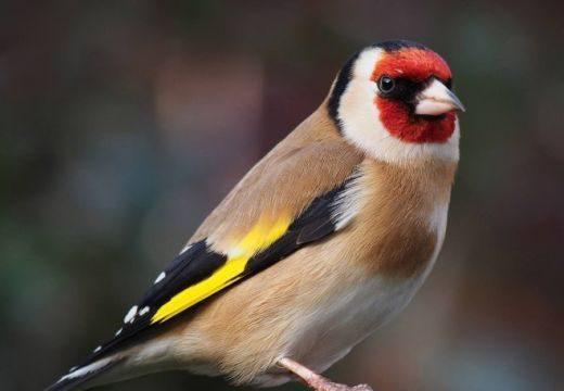 A tengelic lesz 2017-ben az év madara