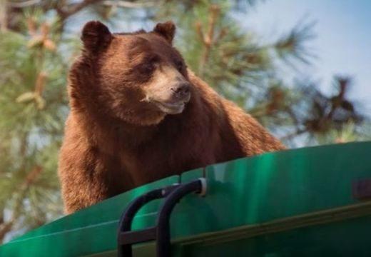 Kukásautó tetején utazott az éhes medve – nézd meg a felvételt!