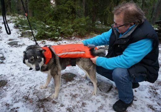 Farkastámadástól védő mellényt kapnak finn kutyák