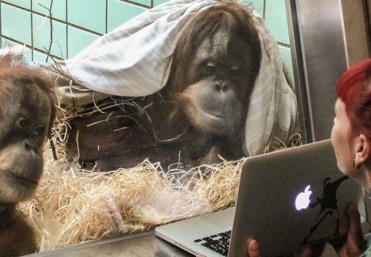 Társkereső majmoknak, számítógépen mutogatják a potenciális partnereket. Nem vicc!