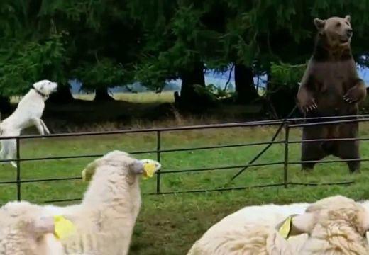 Tizenegy birkát elpusztított a medve egy ház udvarán