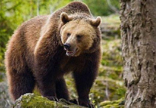 Megjött az engedély, kilőhetik az egyik medvét. Mi lesz a másikkal?
