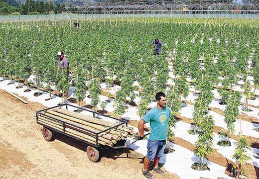 Fejlemények a Maros megyei faluban talált kannabisz-ültetvény ügyében
