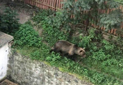 Riadalom egy medve miatt Csíkszeredában