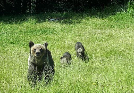 Medvék keltettek újra riadalmat