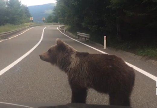 Medve az úton