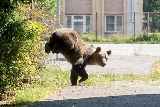 Medveinvázió Hargita megyében