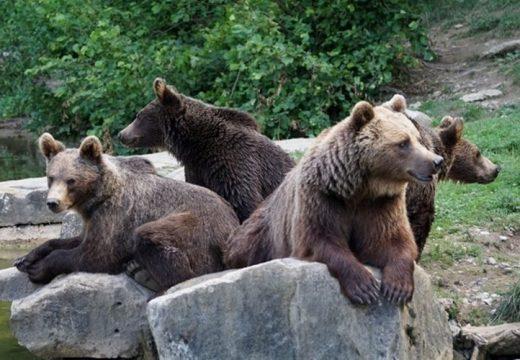 Legalább 8 medve riogatja az embereket a Prahova-völgyén