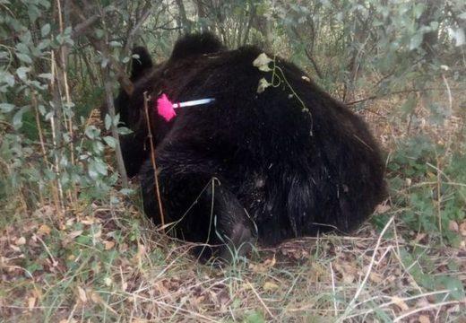 Elpusztult a Göcsnél elgázolt medve