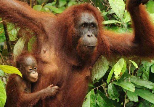 Súlyosan veszélyeztetett fajnak minősítették a borneói orangutánt