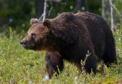 Sintérkedés? Elítélő vélemények a 140 veszélyes medve kilövését is engedélyező rendeletről
