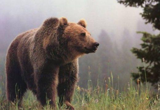 Specialiştii văd cu ochi buni proiectul Ministerului Mediului privind populaţia de urşi bruni