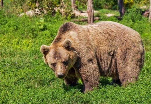Medvék miatti riasztás Gyergyószentmiklóson és Tusnádfürdőn