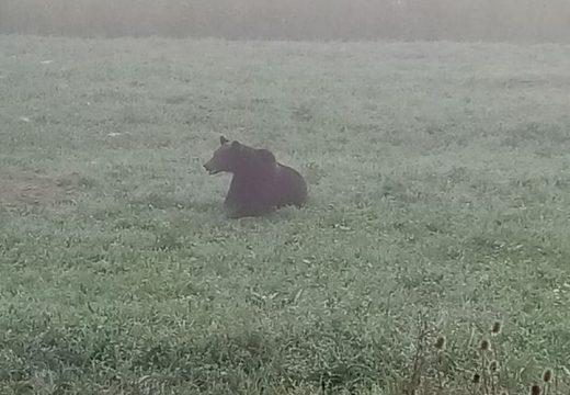 Medvét gázoltak Göcsnél